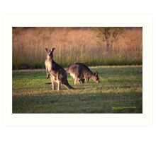 Kangaroos and baby Joey grazing at Vacy, NSW Australia Art Print