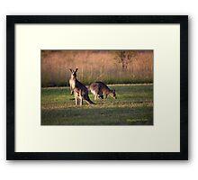 Kangaroos and baby Joey grazing at Vacy, NSW Australia Framed Print