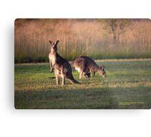 Kangaroos and baby Joey grazing at Vacy, NSW Australia Metal Print