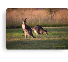 Kangaroos and baby Joey grazing at Vacy, NSW Australia Canvas Print