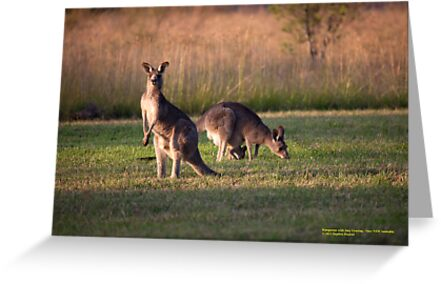 Kangaroos and baby Joey grazing at Vacy, NSW Australia by SNPenfold