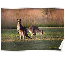 Kangaroos and baby Joey grazing at Vacy, NSW Australia Poster