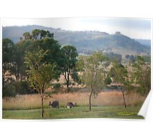 Kangaroos and their Joey -Vacy, NSW Australia Poster