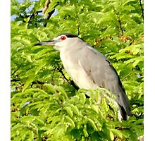 The Black crowned Night Herron Photographic Print