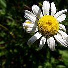Webbed Daisy on the Path by Timothy Eric Hites