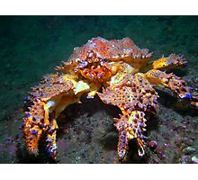 Puget Sound King Crab  Photographic Print
