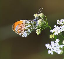 Male Orange Tip Butterfly ( Anthocaris Cardamines ) on Parsley Water Dropwort by Ian Alex Blease