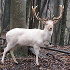 White Fallow Deer (Leucistic) by Ginny York