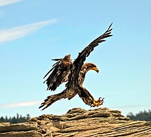 Bald Eagle Landing by naturediver