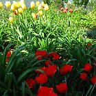 Tulip garden by MarianBendeth