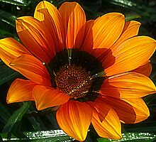 Gazania, Big, Bold and Beautiful by EdsMum