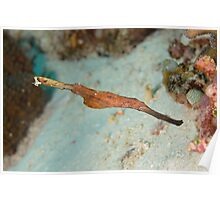 Robust Ghost Pipefish - Solenostomus cyanopterus Poster