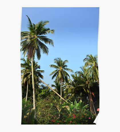 Tall Coconut Trees Poster