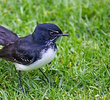 Willie Wagtail by NickVerburgt