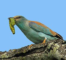 A European roller with the catch of the day! by jozi1