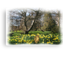 Going daft in the Daffodils Canvas Print