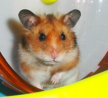 Syrian Hamster Barney by SkatingGirl