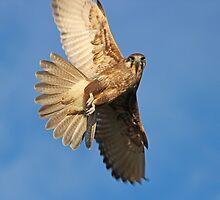Brown Falcon  by Chris Kean