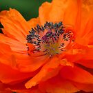 Orange Poppy by lorilee