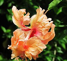 Double hibiscus by Mike Shell
