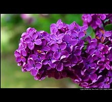Syringa Vulgaris Decaisne - Lilac In Royal Purple Bloom - Upper Brookville, New York by © Sophie W. Smith