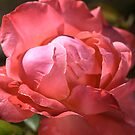 Light on Rose by Joy Watson