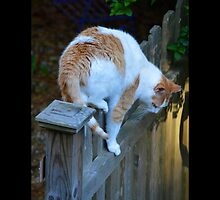 Felis Catus - White And Orange Domestic Stray Cat On A Wooden Fence - Middle Island, New York by © Sophie Smith
