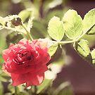 Miniature rose by Lynn Starner