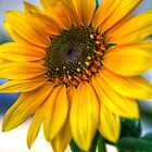 Sunflower by Ray Chiarello