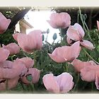 Classic Pink Poppy by jcahill