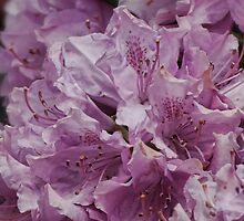 Pale Pink Rhodedendron by vigor