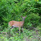 Deer - Mirror Lake Eden Park by Tony Wilder