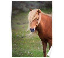Icelandic Mare Poster