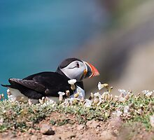 Puffin by mattcattell