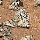 Can you get a gaggle of butterflies ? by Graeme M