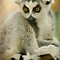 """Lemurs Looking At Me"""