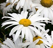 wild Irish daisies by morrbyte