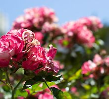 Roses - Union Square, San Francisco by tamsterjoo