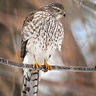 Sharp Shinned Hawk by Kim Barton