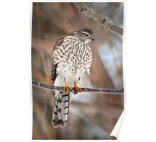 Sharp Shinned Hawk Poster