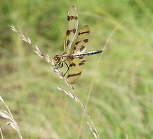 Dragon Fly... by crubino12