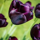 Queen of the Night Tulips by Peta Thames