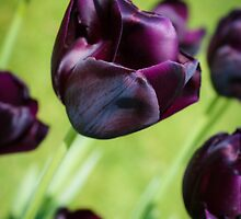 Queen of the Night Tulips by Silken Photography