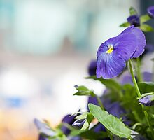 Pansy by Arata