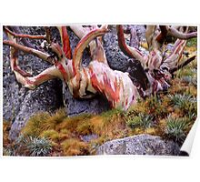 Snowgum Colours Poster