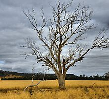 Dried and Golden - Leadville NSW Australia by Bev Woodman