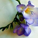1567-blue freesia by elvira1