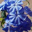 1571-blue plumbago by elvira1