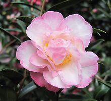 Camellia Sasanqua paradise 'Gillian' by helenclare