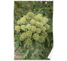 ANGELICA FLOWER PERFECT FOR YOUR LITTLE ANGELS Poster